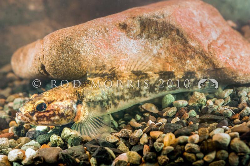 DSC_5382 Common bully (Gobiomorphus cotidianus) large female. Waitati *