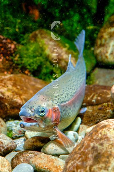DSC_3475 Rainbow trout (Oncorhynchus mykiss) female *