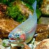 DSC_3475 Rainbow trout (Oncorhynchus mykiss) female