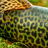 DSC_2195 Hybrid tiger trout ((Salmo trutta X Salvelinus fontinalis) detail of the pattern on a mature hatchery bred fish. Tigers are an infertile cross between a male brown trout and a female brook char. They are bred at the Ngongotaha hatchery, Rotorua, and released into Lake Rotoma. They are produced purely for sports fishing as they grow quickly and fight aggressively when caught *