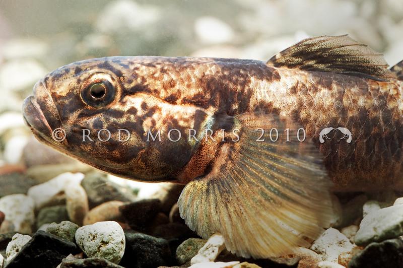 DSC_5026 Common bully (Gobiomorphus cotidianus) profile of head of a large male. Waitati