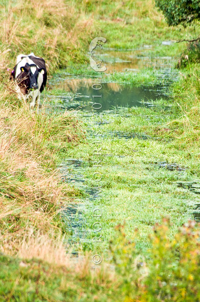 DSC_8814 Stock grazing in waterways degrades water quality and threatens fish habitat. Maruia.