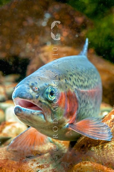 DSC_3334 Rainbow trout (Oncorhynchus mykiss) female