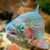 DSC_3334 Rainbow trout (Oncorhynchus mykiss) female *