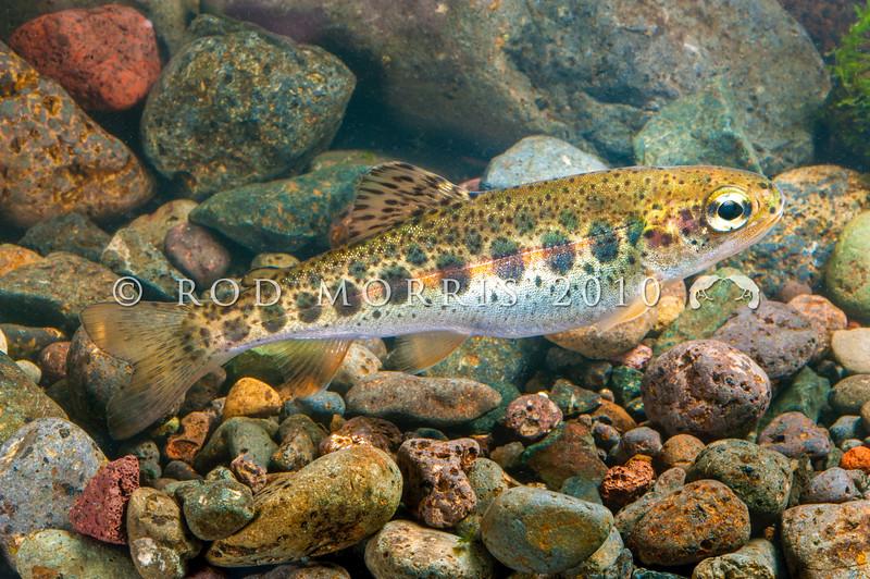 DSC_6219 Rainbow trout (Oncorhynchus mykiss) parr markings on a wild fingerling from Winding Creek, Lake Pearson *