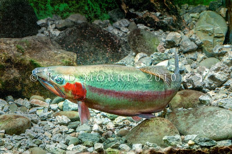 DSC_3874 Rainbow trout (Oncorhynchus mykiss) male *