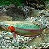 DSC_3874 Rainbow trout (Oncorhynchus mykiss) male