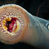 DSC_9640 Pouched lamprey (Geotria australis) belong to an order of jawless fish and are characterized by a toothed, funnel-like sucking mouth. While some such as this species are well known for their ability to bore into the flesh of other fish to suck their blood, around 50% of lamprey species are not parasitic. This migratory adult may spend up to 16 months in freshwater before spawning. Niagra River, Catlins *