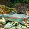DSC_3444 Rainbow trout (Oncorhynchus mykiss) female