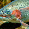 DSC_3479 Rainbow trout (Oncorhynchus mykiss) female