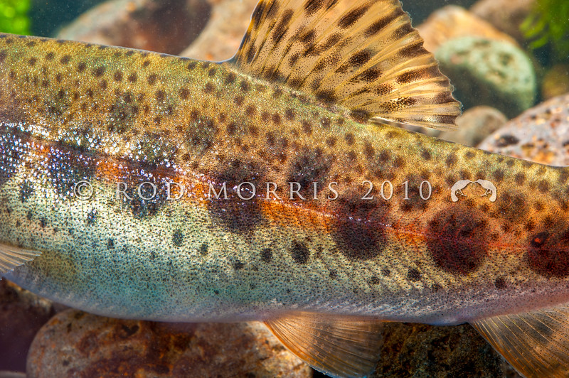 DSC_6202 Rainbow trout (Oncorhynchus mykiss) detail, parr markings on wild fingerling from Winding Creek, Lake Pearson *