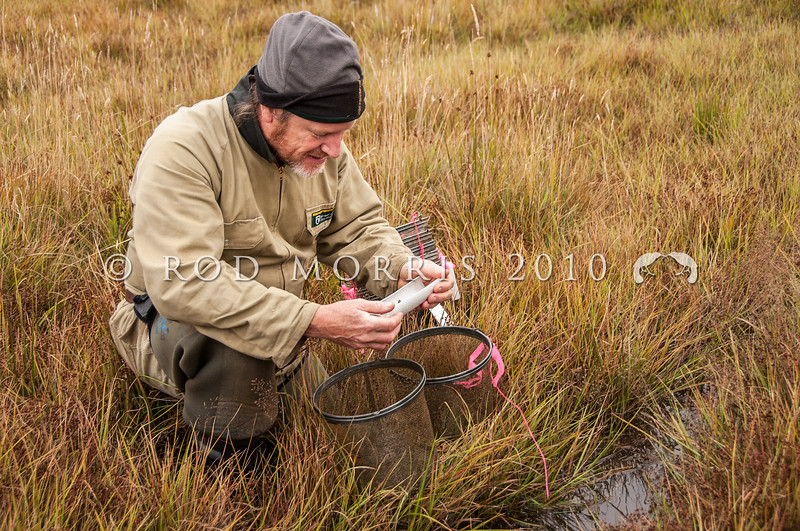 DSC_0854 Teviot flathead galaxias (Galaxias 'Teviot') DoC Ranger Daniel Jack measures a fish from one of the very last sites where Teviots still occur. Over the last decade, nearly half the known Teviot populations have been lost. This can be directly linked to the spread of sports fish (trout and brook char), which eat galaxiids; and changes in land use such as stock access to streams, reduction of native vegetation, land development and forest harvesting. The last few populations remain in a few headwater streams small enough to step across in the Teviot River, surrounding Lake Onslow *