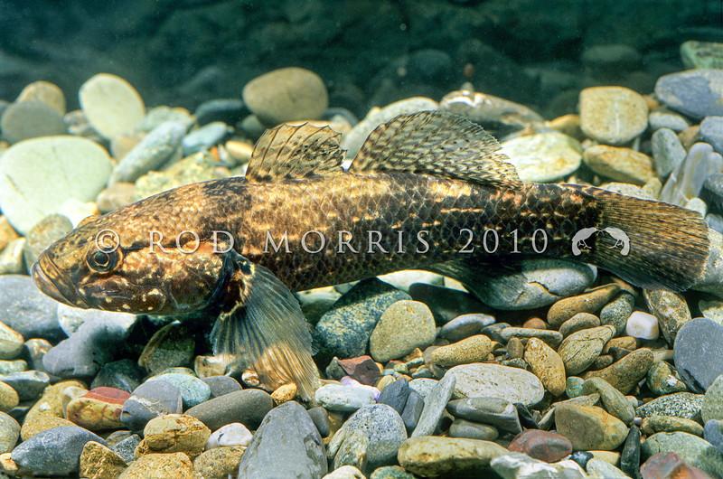 11004-11307 Giant bully (Gobiomorphus gobioides) large male. Lake Ellesmere.