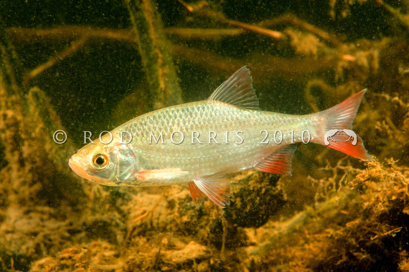 DSC_1888 Rudd (Scardinius erythrophthalmus) originally came from temperate western Europe, and were brought to New Zealand in the 1960s. They are considered a pest fish outside the Auckland and Waikato regions *