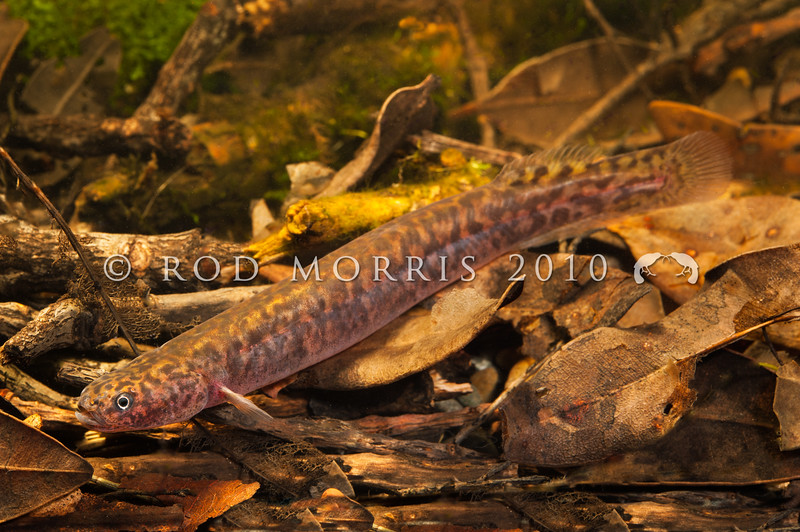 DSC_1687 Black mudfish (Neochanna diversus) a native galaxiid from northern New Zealand. Capable of aestivating when water dries up *