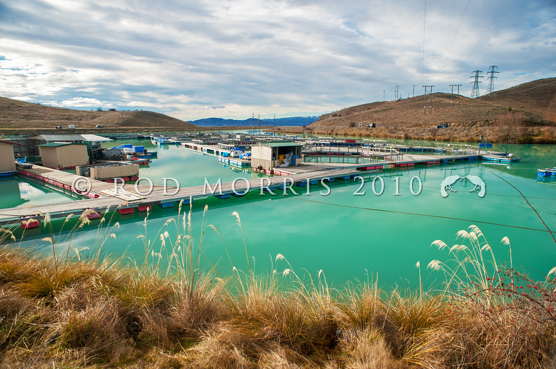 DSC_5351 Quinnat or Chinook salmon (Oncorhynchus tshawytscha) a commercial salmon farm on the Ruataniwha Canals near Twizel *
