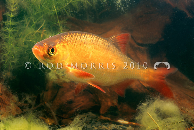 11004-09708 Golden Rudd (Scardinius erythrophthalmus) originally came from temperate western Europe, and were brought to New Zealand in the 1960s. They are considered a pest fish outside the Auckland/Waikato region