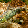 DSC_2397 Brown trout (Salmo trutta)