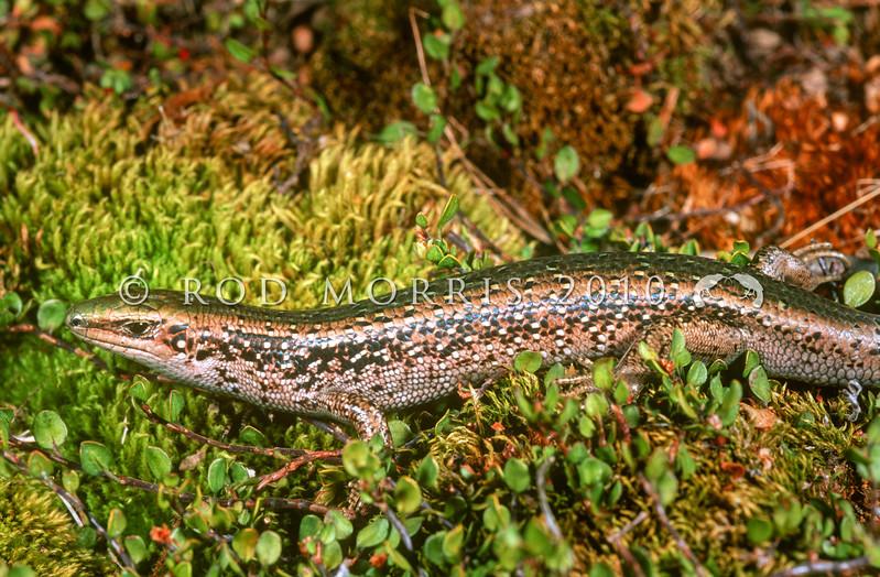 11003-64105 Otago green skink (Oligosoma aff chloronoton 'Eastern Otago') more gracile, green-backed and less heavily flecked than Southland green skinks. Falls Dam, Manuherikea River *