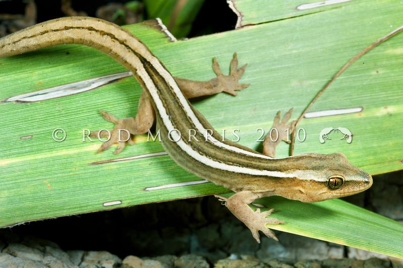 DSC_5095 Goldstripe gecko (Woodworthia chrysosiretica) young female in cabbage tree.  Taranaki *