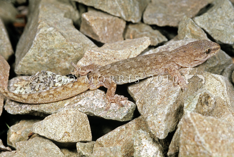 11003-52015  Pygmy gecko (Woodworthia 'pygmy') adult male in scree.The smallest New Zealand gecko, discovered by herpetologist Tony Jewell in 2008. Rangitata Valley *