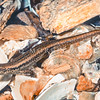 11003-81006 Shore skink (Oligosoma smithi) common and variable, and an avid sun-basker. Along north-east coast of the North Island, including  islands, from lower Aupouri Peninsula to Gisborne. On or near shoreline  to high tide mark, amongst driftwood, rocks and seaweed. Coromandel Peninsula *