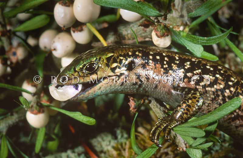11003-64018 Southland green skink (Oligosoma chloronoton) a robust, heavily flecked, green-backed female feeding on fruit of the porcupine shrub (Melicytus alpinus). Hokonui Hills *