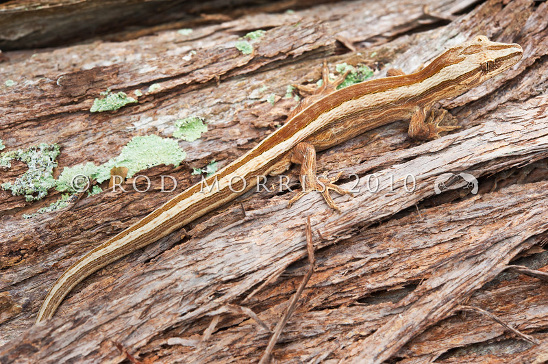 DSC_4813 Northern striped gecko (Toropuku 'Coromandel') male on kanuka. Only a dozen or so individuals have so far been found of this rare and elusive gecko.  Note the distinctive 'cork bark' patterning. These animals are extremely cryptic in the wild, and if disturbed, can make a 'catapaulting' leap from danger in a remarkable display of agility and power. The Southern striped gecko, and the Matapia gecko are also agile leapers. Coromandel