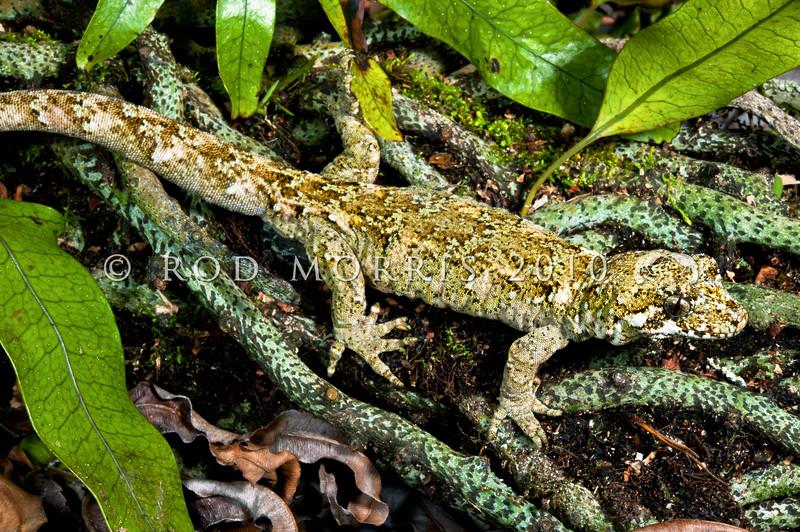 DSC_4969 Forest gecko (Mokopirirakau granulatus) large female on hounds tongue fern. Mount Taranaki *