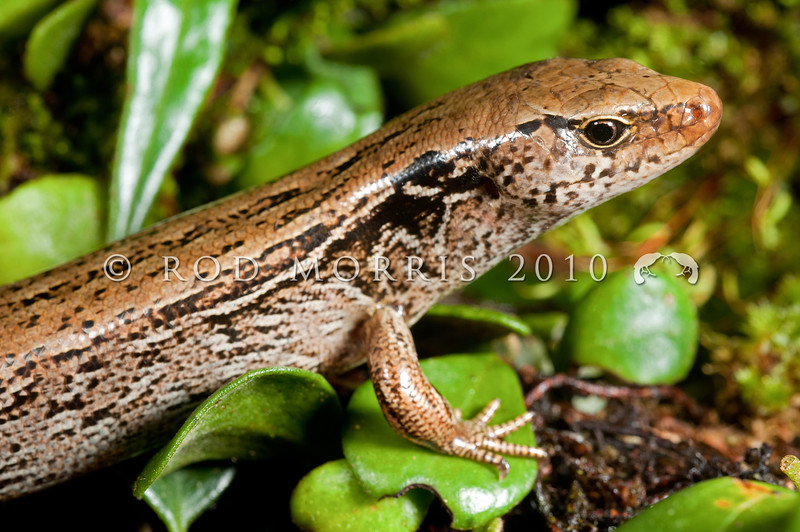 DSC_6588 McGregor's skink (Oligosoma macgregori) once widespread on the North Island mainland, occurs today on  a few rat-free offshore islands. Mana Island *