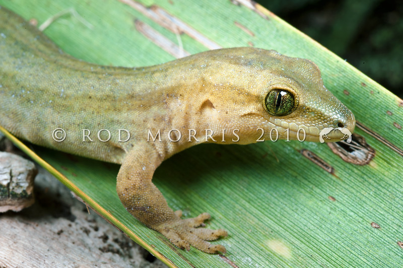 DSC_5155 Goldstripe gecko (Woodworthia chrysosiretica) female in fruiting cabbage tree after dark. New Plymouth *