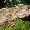 11003-96008 Tuatara (Sphenodon punctatus) this is one of the largest tuatara ever recorded, it is a male living in pohutukawa forest on Aorangi Island, and measuring nearly 70 cm from nose-to-tail. Aorangi Island, Poor Knights Group *