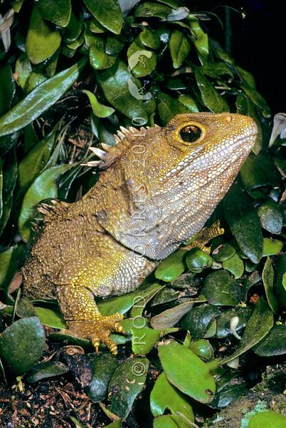 11003-97004  Tuatara (Sphenodon punctatus) large male from Stephens Island amongst Pyrossia fern *
