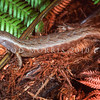 11003-78020 Chevron skink, Niho taniwha (Oligosoma homalonatum) our largest skink, with living populations only rediscovered in the 1970's. Once had a distribution that encompassed the northern North Island and its largest offshore islands. Now restricted to Great Barrier, and Little Barrier Islands. Inhabits forest within a few metres of streams, hiding in crevices in banks and dams, or in arboreal retreats in large forest trees and tree fern crowns. Great Barrier Island *