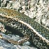 11003-66504 Marlborough spotted skink (Oligosoma aff. lineoocellatum 'South Marlborough') adult on rock in Hutton's Shearwater colony. Seaward Kaikouras *