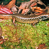 11003-90011  Whitaker's skink (Oligosoma whitakeri) a distinctive large,  nocturnal species, requiring a moist humid environment. It was often most abundant in areas heavily burrowed by seabirds. This species has undergone a massive prehistoric range decline and in the 1990's was known from just two sites. Pukerua Bay, Kapiti Coast *