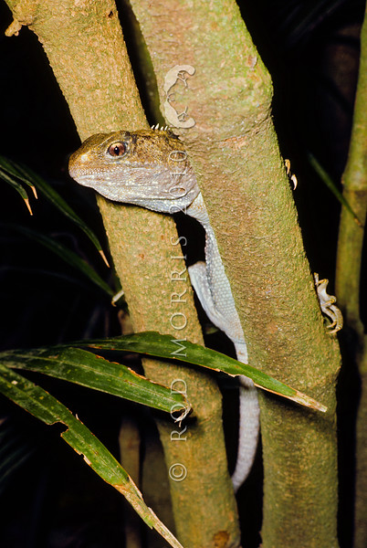 11003-97215  Tuatara (Sphenodon punctatus) climbing tree to hunt weta at night, Stephens Island *