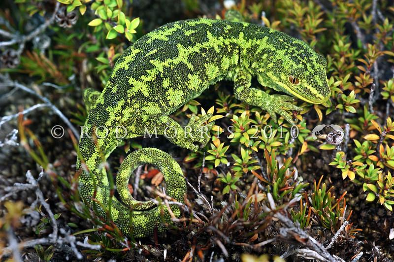 DSC_9092  West Coast green gecko (Naultinus tuberculatus) one of our least known green geckos. This female is on dwarf manuka on the Denniston Plateau *