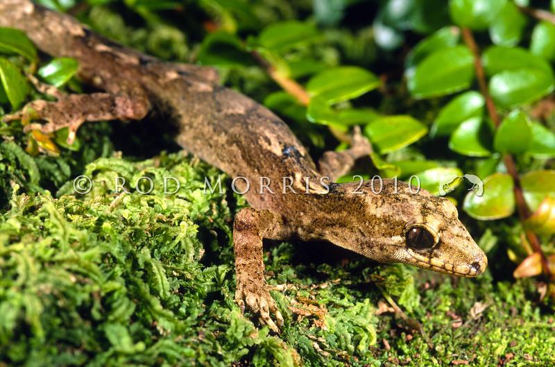 11003-30006 Pacific gecko (Dactylocnemis pacificus) male on forest trunk. Rangitoto Range, Pureora  *