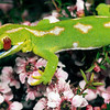 11003-07006 Northland green gecko (Naultinus grayii) detail, head and tongue of male on pink manuka. Kaimaumau Swamp *