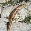 11003-60002  Scree skink (Oligosoma waimatense) a large species inhabiting dry rocky areas, particularly scree slopes and dry stream beds from inland Marlborough, through Canterbury down to North Otago. Molesworth, Inland Marlborough *