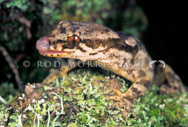 11003-32003  Te Paki gecko (Dactylocnemis 'North Cape') male licking its nose. North Cape.