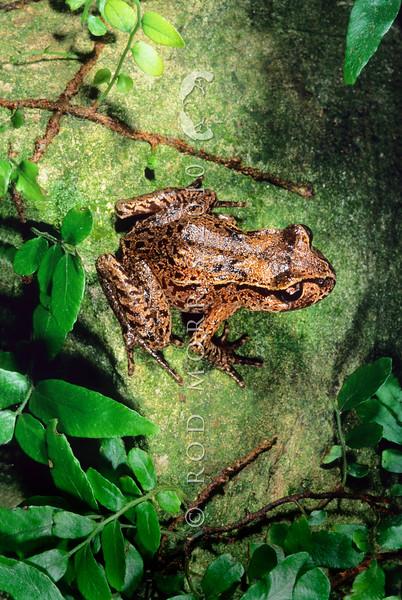 11003-01013 Hamilton's frog (Leiopelma hamiltoni) female in forest. Maud Island *