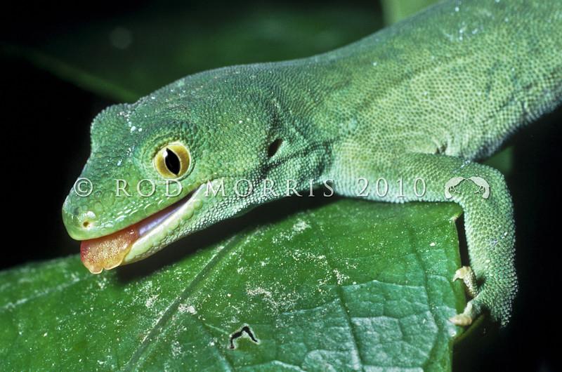 11003-10002 Marlborough green gecko (Naultinus manukanus) male in mahoe. Stephens Island, Marlborough Sounds *