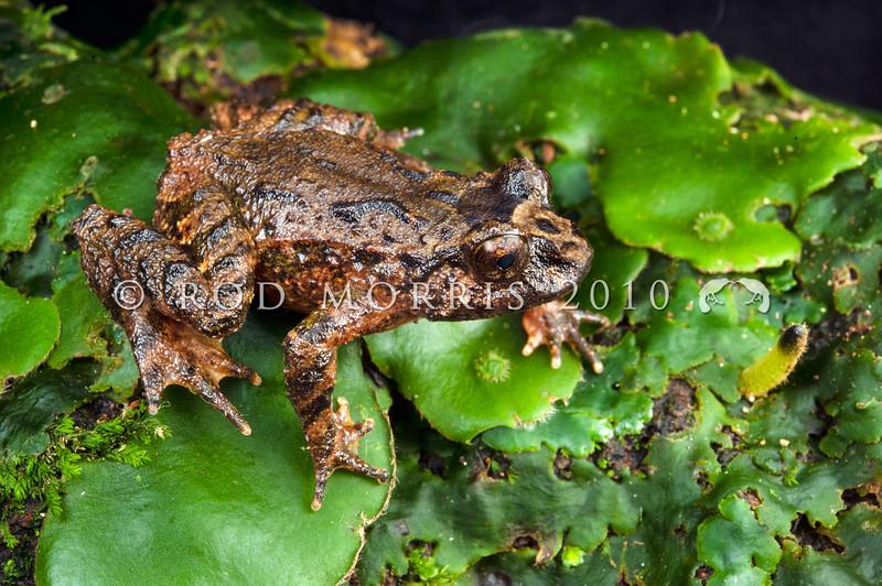 DSC_0514 Hochstetter's frog (Leiopelma hochstetteri) 'Central/South Coromandel' adult female,  Coromandel *