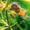 11003-05123 Whistling frog (Litoria ewingii) tailed froglet. Otago Peninsula *