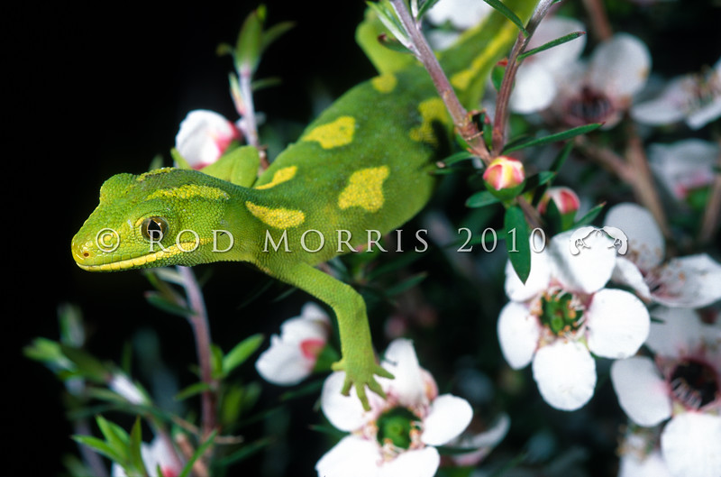 11003-08021 Elegant gecko (Naultinus elegans) patterned female in flowering manuka *