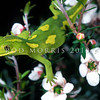 11003-08021 Elegant gecko (Naultinus elegans) patterned female in flowering manuka *