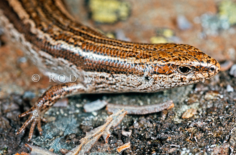 11003-77107 McCann's skink (Oligosoma maccanni Clade 5) head of adult. A very common species in drier regions of the South Island, there has been restricted geneflow between the Canterbury and Otago populations of McCann's since the Pliocene. This adult is from inland Canterbury. Mount Harper, Hakatere *