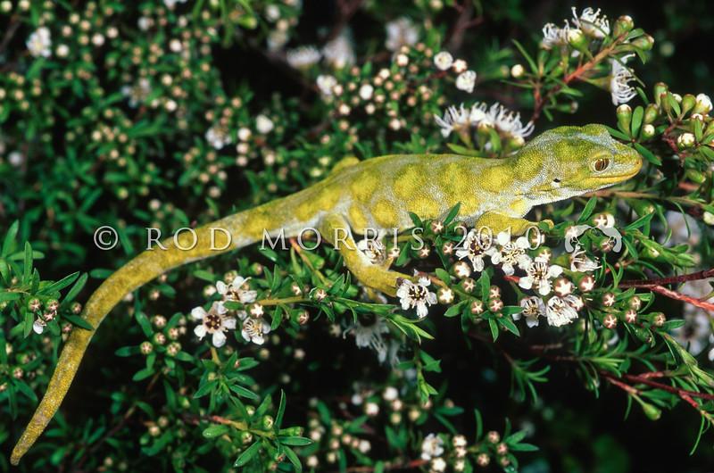 11003-11202 Starred gecko (Naultinus stellatus) male, Sandy Bay form on kanuka *